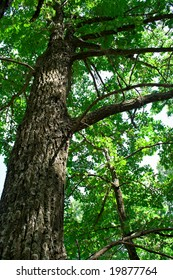 The huge old oak tree in the forest