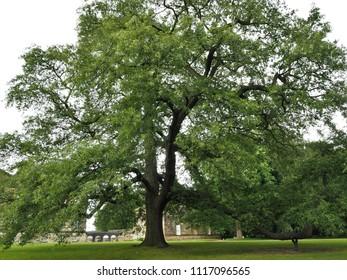 Huge old oak tree in a park