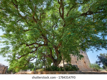 The huge old rosewood Tipuana tipu tree growing by the Kolossi castle.  Kolossi. Limassol District. Cyprus