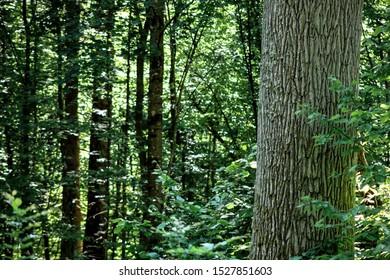 Huge, old trees of Puszcza Bialowieska in Poland - Shutterstock ID 1527851603