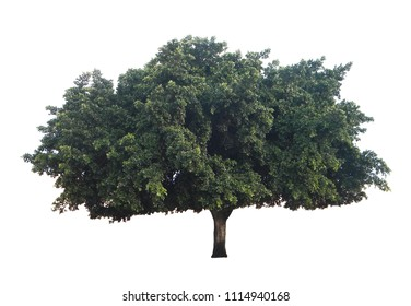 Huge olive tree with wide spread of shade isolated on white background with clipping path