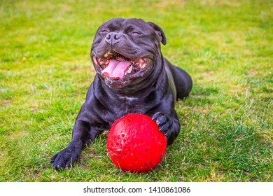 A huge open mouthed smile of delight and happiness on a black Staffordshire Bull Terrier dog after playing with and chewing a red plastic ball on grass. He is now lying down holding the ball