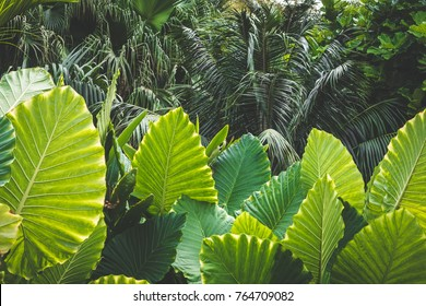 huge palm tree leaves , Elephant Ears (colocasia gigantea)
