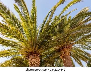 Huge palm trees in Spain.