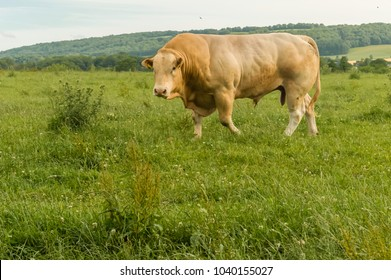 Huge pedigree limosine bull grazing in summer meadow
