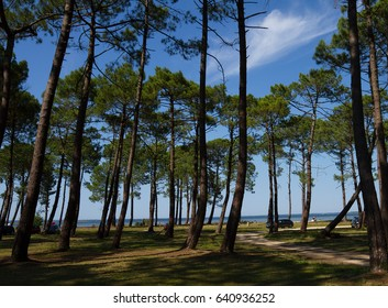 Huge pines on the shore of the lake in a summer day with blue sky
