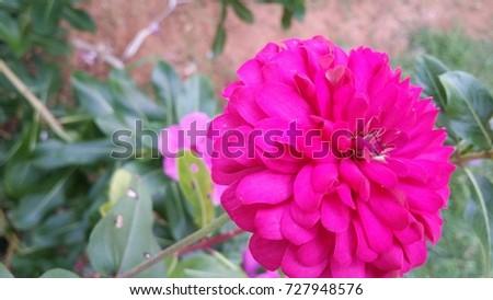 Huge Pink Flower Stock Photo Edit Now 727948576 Shutterstock