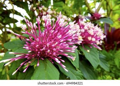 Huge pink and purple Tropical Flowers Kauai