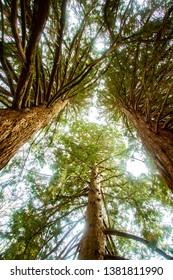 Huge port orford cedar trees on the Oregon State University campus, Corvallis, Oregon
