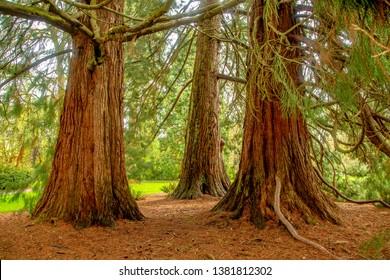 Huge Port Orford Cedar trees on Oregon State University campus, Corvallis, Oregon