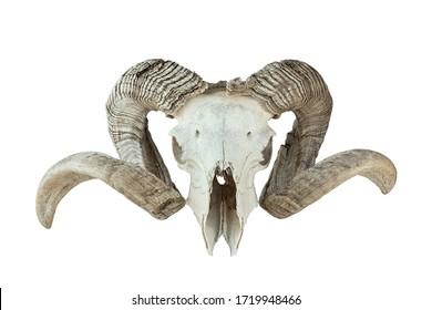 huge ram trophy isolated over white background, skull of huge domestic animal