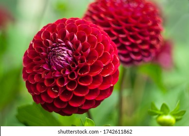 A huge red ball of dahlias, luxuriantly blooming. Raindrops on the petals. Bright sunny day.