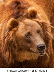 Huge red hairy bear face full face in full screen. but a sweet, kindly expression on the face. a symbol of power and calm strength and confidence.