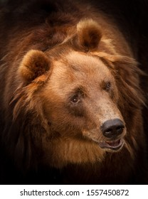 Huge red hairy bear face full face in full screen. but a sweet, kindly expression on the face. a symbol of power and calm strength and confidence. highlighted in dark background.