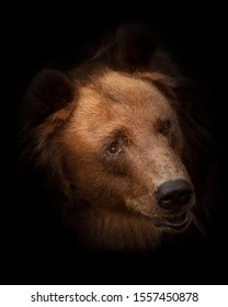 Huge red hairy bear face full face in full screen. but a sweet, kindly expression on the face. bear head isolated on black background.
