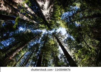 Huge Redwood trees grow in Redwood National Park, found along the coast of Northern California. Redwoods can live 2,000 years and reach hundreds of feet in height.