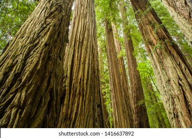Huge redwood trees in the Redwood National and State Parks (RNSP).  They are in old-growth temperate rainforests located along the coast of northern California.