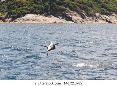Huge sailfish jumping out of the water after being caught trolling. Big game fishing in Thailand from Phuket to Similan islands. One of the most beautiful and fastest fish in the sea