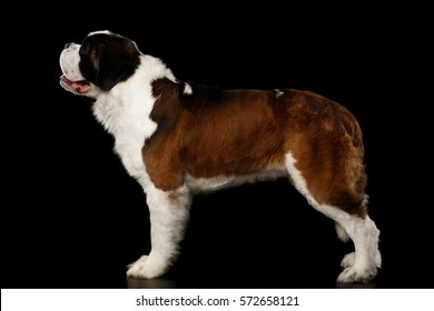 Huge Saint Bernard Dog Standing on Isolated Black Background, Side view