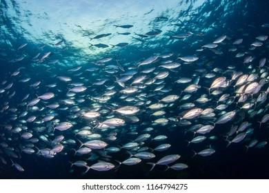A huge school of Jacks in a blue water tropical ocean