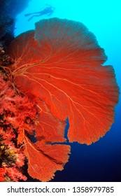 huge sea fan in sipadan