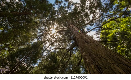 A huge sequoia in national sequoia park in California in spring from below. A tall sequoia.