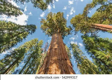 Huge Sequoia Trees In Sequoia National Park, California USA
