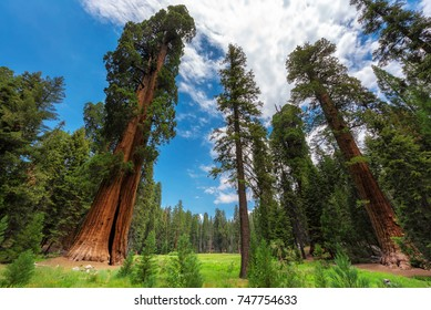 Huge Sequoia Trees In Sequoia National Park, California, USA.