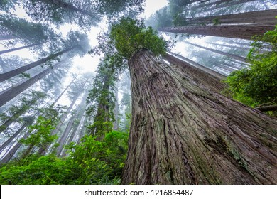 Huge sequoias on the background of the blue sky. Redwood national and state parks. California, USA