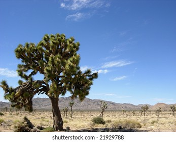 Huge single Joshua Tree in the desert
