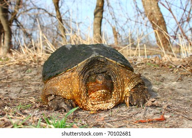 Huge Snapping Turtle (Chelydra serpentina) on a warm spring day near Rockford, Illinois
