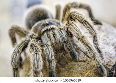 Imágenes Fotos De Stock Y Vectores Sobre Tarantula Crawl Up