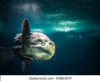 huge Sunfish underwater lighted by single beam