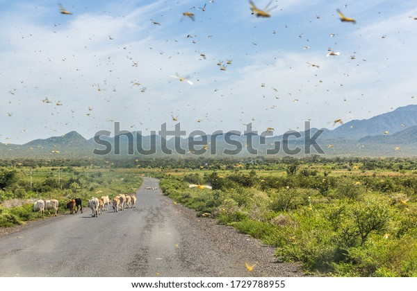Huge swarm of locusts in Omo valley, Ethiopia