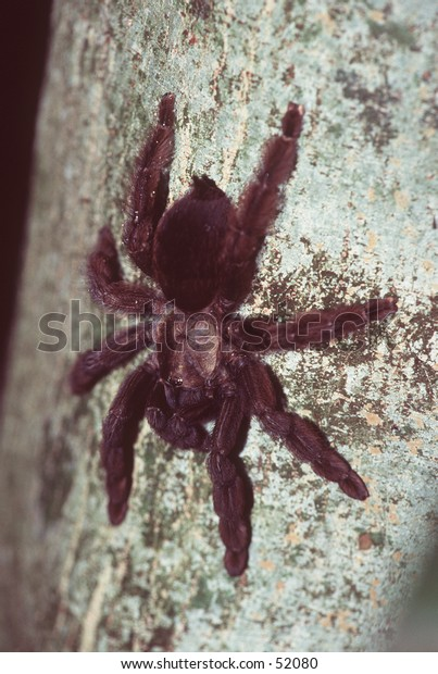 Huge Tarantula Spider Perching on a Tree Trunk