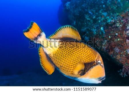 Huge Titan Triggerfish feeding