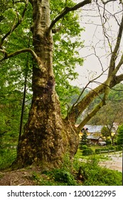 The huge tree from fairy-tale on the road from Samobor town, Croatia, to the ruins of the old fortress