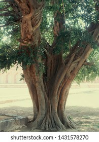 huge tree in an Indian park