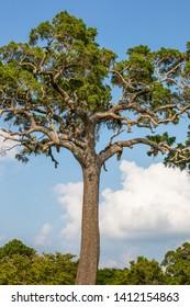 A huge tree at the Minneriya National Park on the blue sky background, sigiriya, Sri Lanka. Safari.