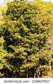 a huge tree with orangy leaves wallpaper