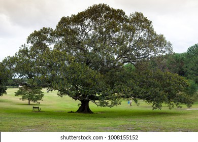 a huge tree in a park- sydney, Asztralia
