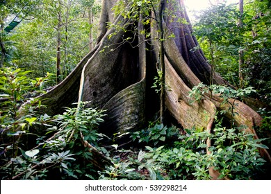 huge tree and its roots in Costa Rica