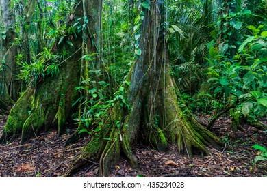 Huge trees in a jungle of Cockscomb Basin Wildlife Sanctuary, Belize