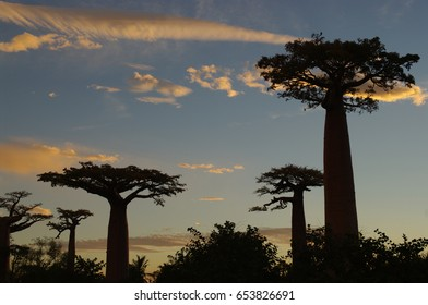 Huge trees in the sunset - 1