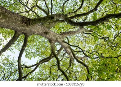 huge trees trunk