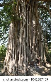 Huge tree,Sri Lanka