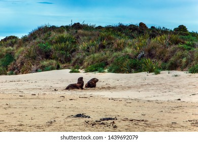 Huge two sea lions resting on the sand. New Zealand. The picturesque Pacific coast of the South Island. Picturesque Cannibal Bay. The concept of ecological, active and phototourism