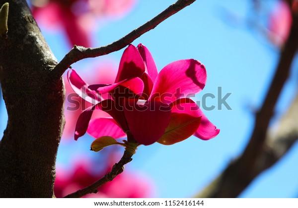 Huge vivid ruby-red flowers on Magnolia 'Vulcan' Tree, macro, spring blooming time in the park, blue sky background.