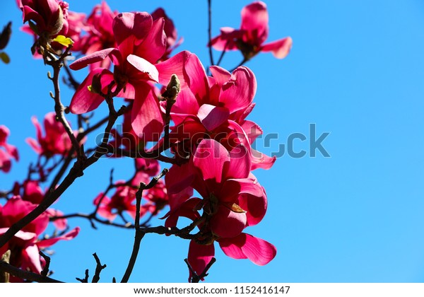 Huge vivid ruby-red flowers on Magnolia 'Vulcan' Tree, macro, spring blooming time in the park, blue sky background.