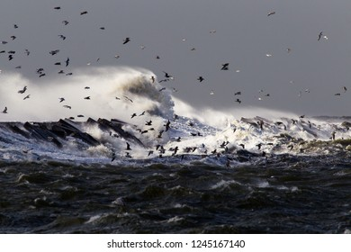 Huge waves crashing over the pier of Ijmuiden, Netherlands during severe storm over the North Sea. Flock of seagulls sheltering in the harbour.